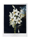 The White Lily, 1799 Giclee Print by Robert John Thornton