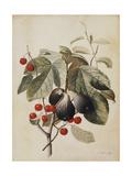 Figs and Cherries, 1747 Giclee Print by Georg Dionysius Ehret