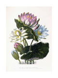Red, Blue, and White Lotus, of Hindostan, 1781 Giclee Print by James Forbes