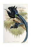 Great Sicklebilled Bird of Paradise Impression giclée