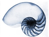 X-Ray of a Nautilus, 1905 Photographic Print