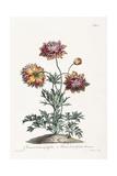 Broad Leav'D Garden Anemone Giclee Print by John Edwards