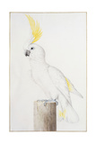Sulphur-Crested Cockatoo Giclee Print by Nicolas Robert