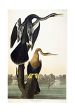 Black-Bellied Darter, 1836 Giclee Print by John James Audubon