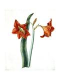 Amaryllis, C.1790 Giclee Print by Martha Tuthill