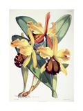 Cattleya Dowiana, C.1862-1877 Giclee Print by Walter Hood Fitch