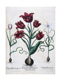 Tulips, 1613 Giclee Print by Johann Friedrich Meyer