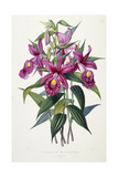 Sobralia Macrantha, C.1837-43 Giclee Print by Sarah Ann Drake
