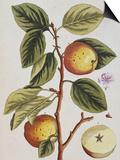 Apple Tree (Malus Sativa), 1739 Poster von Elizabeth Blackwell
