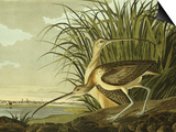 Male And Female Long Billed Curlew (Numenius Americanus) with the City of Charleston Behind Affiches par John James Audubon