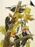 Pileated Woodpecker (Dryocopus Pileatus), Plate Cxi, from 'The Birds of America' Affiches par John James Audubon