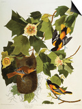 Baltimore Oriole. Northern Oriole (Icterus Galula), from 'The Birds of America' Prints by John James Audubon