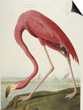 Flamingo Drinking at Water's Edge Prints by John James Audubon