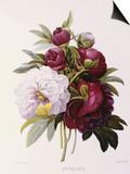 Peonies Prints by Pierre-Joseph Redouté