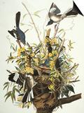 Mocking Bird. Northern Mockingbird (Mimus Polyglottos), Plate Xxi, from 'The Birds of America' Print by John James Audubon
