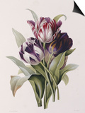 Tulips Posters by Pierre-Joseph Redouté