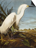 Snowy Heron or White Egret / Snowy Egret (Egretta Thula), Plate CCKLII, from 'The Birds of America' Prints by John James Audubon
