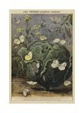 Pieridae Giclee Print