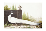 White Peacock Giclee Print by Nicolas Robert