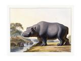 The Hippopotamus, 1804 Giclee Print by Samuel Daniell