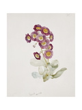 Primula Auricula Giclee Print by Sarah Creswell