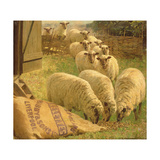 Sheep Feeding from an Upturned Grain Bag Giclee Print by William Gunning King