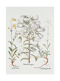 Canterbury Bell, German, 18th Century Giclee Print