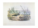 Female and Male Lapwing Giclee Print by Edouard Travies