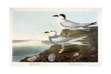 Havell's Tern and Trudeau's Tern, 1838 Giclee Print by John James Audubon