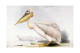 Great White Pelican Giclée-Druck von Edward Lear