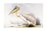 Great White Pelican Giclee Print by Edward Lear