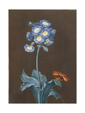 Primula Auricula with Moth Giclee Print by Margaretha Barbara Dietzsch