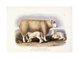 The Cotswold Breed, Ewe, 8 Years Old, 1840-1842 Giclee Print by William Shiels