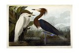 Purple Heron, C.1835 Giclee Print by John James Audubon