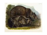 Male Grizzly Bear, 1848 Giclee Print by John Woodhouse Audubon
