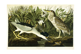 Night Heron or Lua Bird, 1835 Giclee Print by John James Audubon