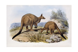 Western Grey Kangaroo Giclee Print by Henry Constantine Richter