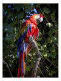Macaw Prints by Michael Polk