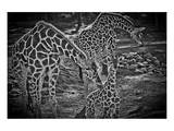 Giraffes B+W Prints by Michael Polk