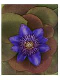 Flower Garden blue Clematis Poster