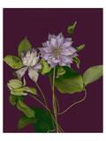 Garden, Clematis purple mauve Flowers Print