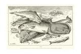 Fisk Giclée-tryk