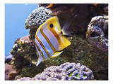 Copperband Butterfly Fish Prints by Michael Polk