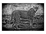 Cheetah B+W Art by Michael Polk