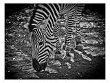 Zebra 1 Print by Michael Polk