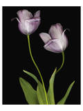 Tulips Orchid green Print