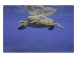 Maui Green Turtle Prints by Michael Polk