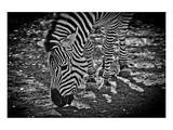 Zebra Print by Michael Polk