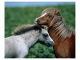 Welsh Ponies Print