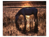 Camargue horse in the evening light Posters